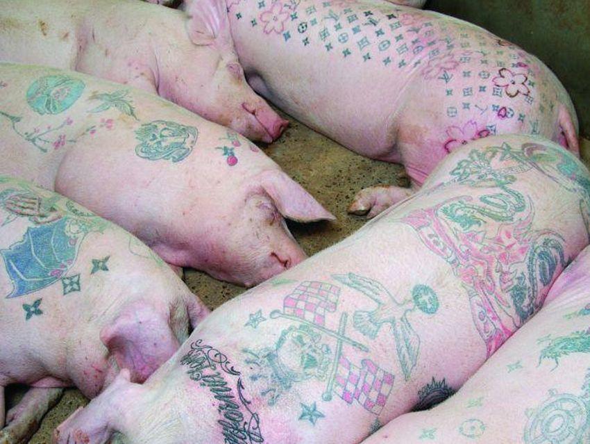 tatuowanie świń